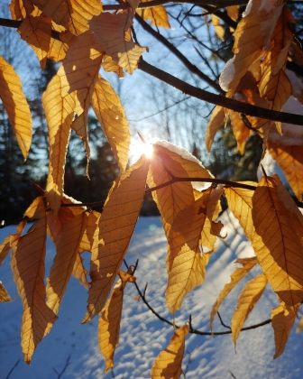 beechleaves_winter_lr